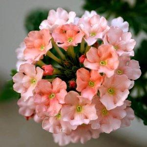 Вербена персиковая