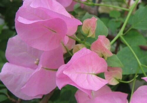 Бугенвиллия домашняя сорт Donyo цветок розовый