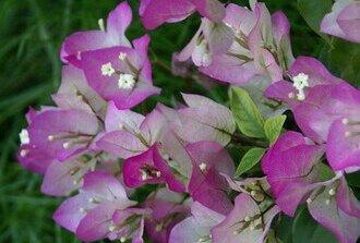 Бугенвиллия домашняя сорт Don mario цветок бледно розовый