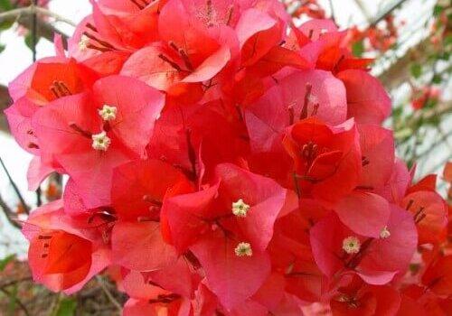 Бугенвиллия домашняя сорт Glabra цветок красный