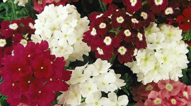 Вербена сорта красная, белая, розовая
