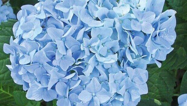 Гортензия голубая садовая сорт Мини Пенни