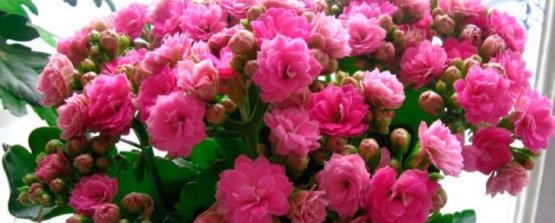 Каланхоэ Блоссфельда сорт розовый