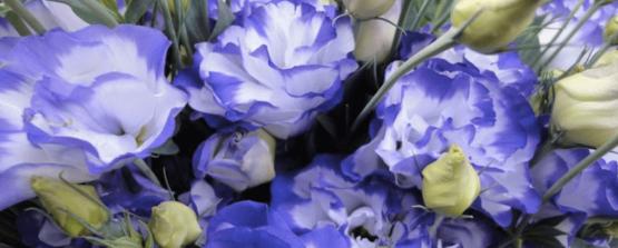 Эустома белая фиолетовым краем