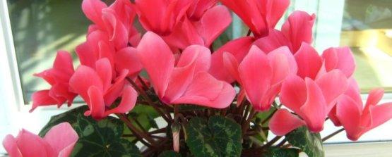 Цикламен домашний информация о растениях виды и сорта в алфавитном порядке полное описание и советы по уходу