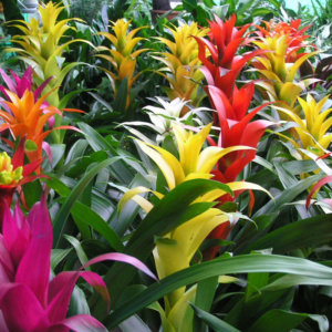 Гузмания - уход за растением в домашних условиях