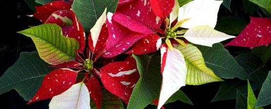 Пуансетия или рождественская звезда, молочай комнатный