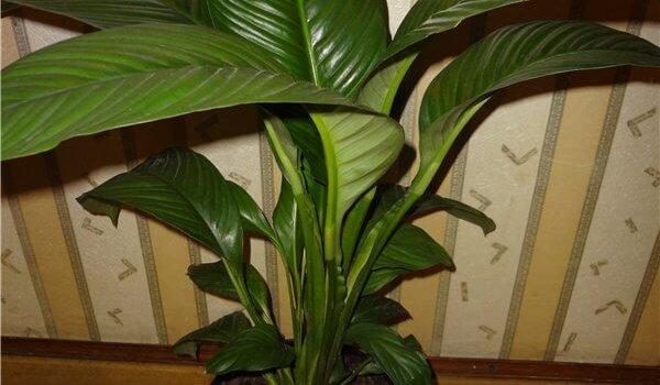 Спатифиллум сорт Сенсация с крупными листьями