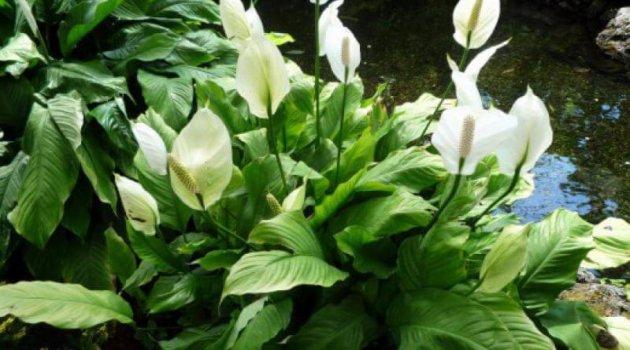 Спатифиллум белый сорт Уоллиса