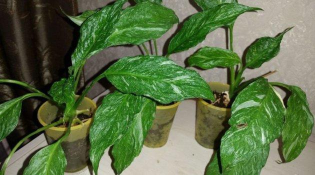 Спатифиллум сорт Домино зеленые листья с белыми пятнами