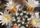 Виды и сорта кактусов
