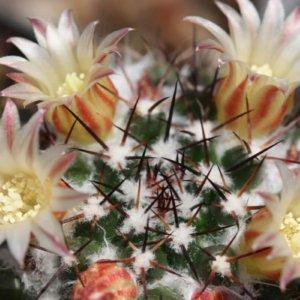 Виды и сорта кактусов по фото