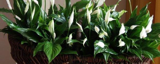 Спатифиллум сорта белый цветок парус