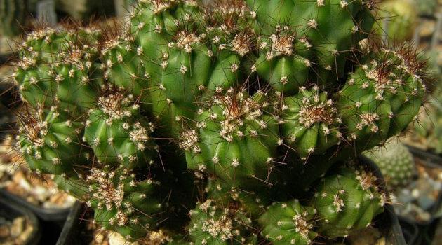 Скалистый цереус кактус