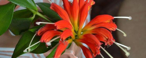 Эсхинантус красный