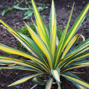 Юкка сорт Колор Куард с желтыми полосами на листьях