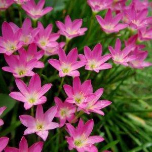 Зефирантес розовый сорта