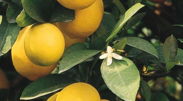 Лимон сорт мейера