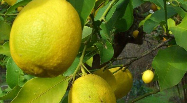 Лимон сорт павловский