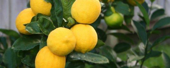 Комнатный лимон павловский