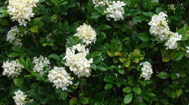 Муррая сорт paniculata белая
