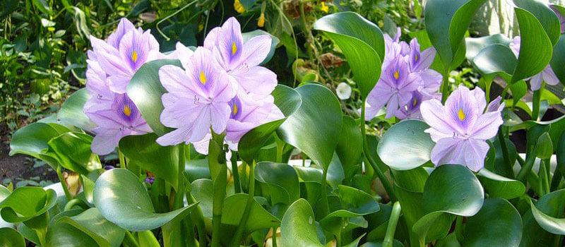 Растение эйхорния водная или водный гиацинт