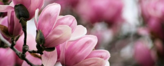 Магнолия растение с розовыми цветами