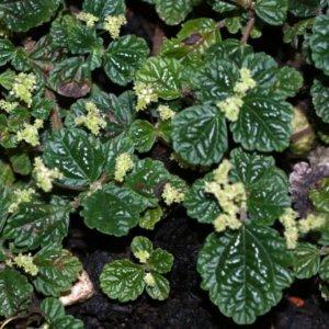 Пилея ползучая (Pilea repens) с темно-зелеными листьями и желтоватыми цветами