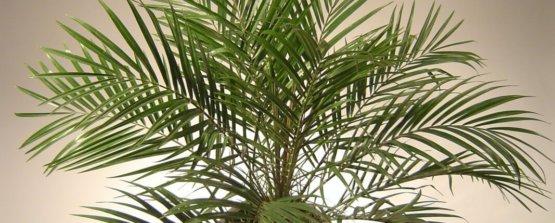 Финиковая пальма, финик