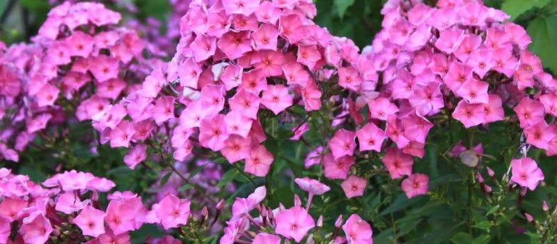 Флокс розовый цветок