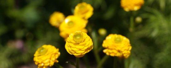 Ранункулюс желтый или лютик садовый