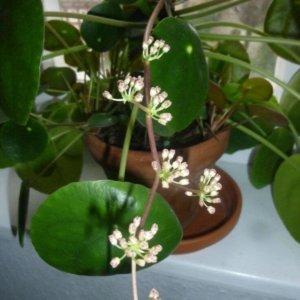 Пилея пеперомиевидная (Pilea peperomioides) с крупными круглыми листьями и белыми цветами