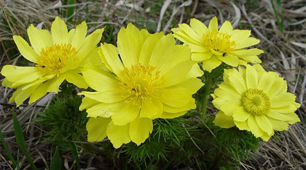 Адонис золотистый желтый