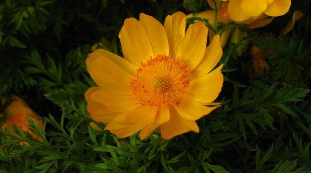 Адонис сибирский оранжевый