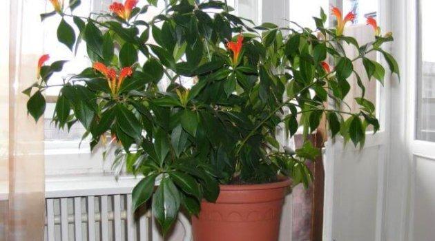 Эсхинантус сорт прекрасный