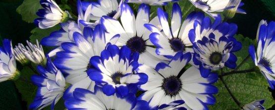 Цинерария белая с синим кантом