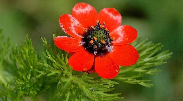 Adonis annua сорт красный