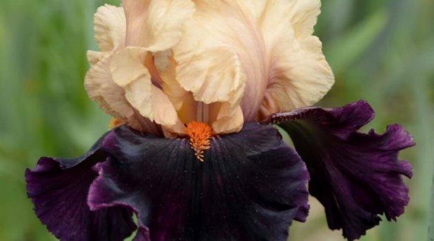 Ирис сорт Ocelot оранжевый верх и темно фиолетовый низ