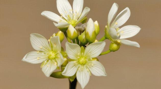 Цветение дионеи или венериной мухоловки