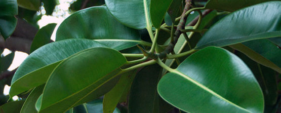 Фикус каучуконосный с темно зелеными листьями