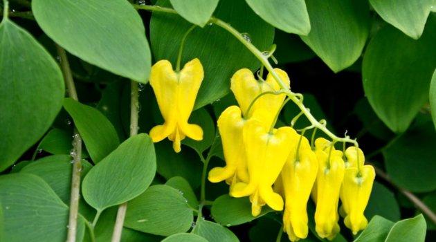 Дицентра лазающая желтого цвета. Scandens