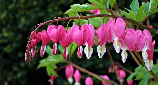 Дицентра розовая