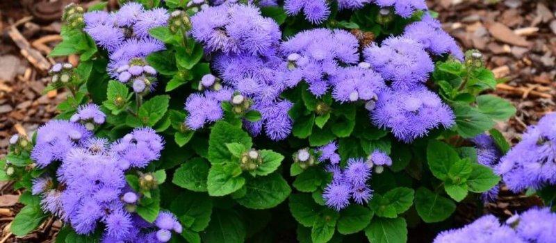 Агератум голубой цветок шарообразной формы.