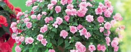 Бальзамин розовый в горшке