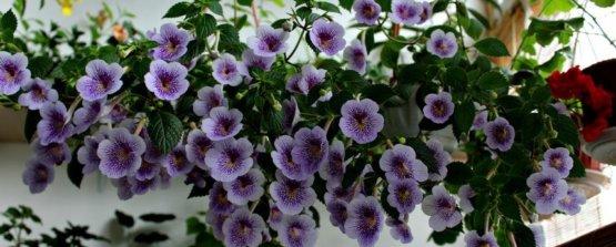 Ахименес: фото и виды, способы выращивания и ухода за цветком