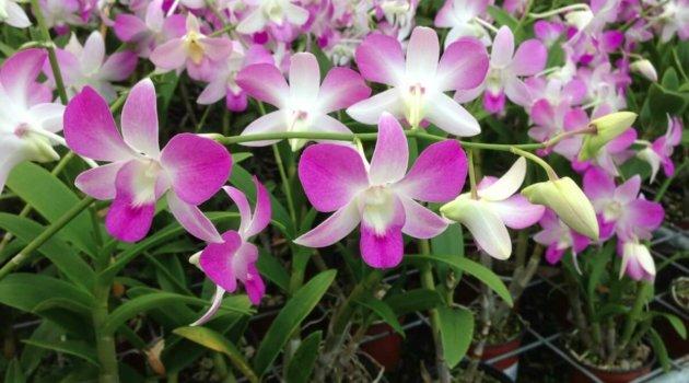Орхидея дендробиум - Dendrobium Ursula Strenge