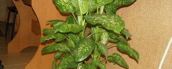 Диффенбахия-в-горшке ядовитые растения