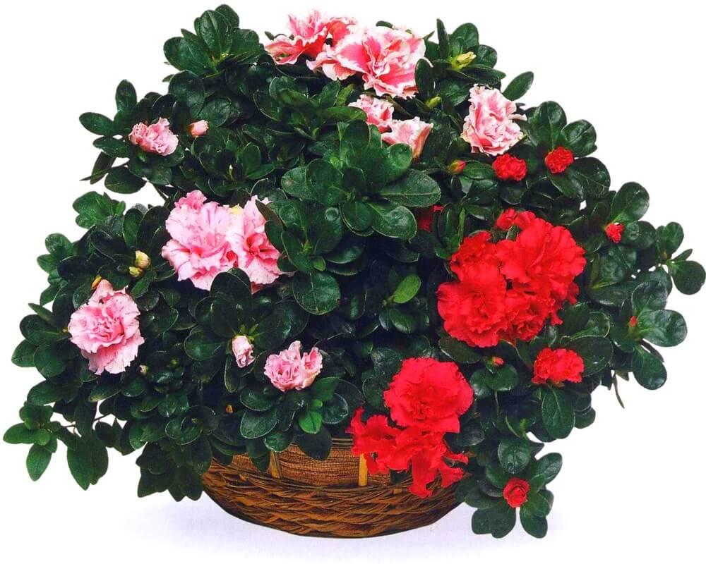 Азалия Комнатные растения, энциклопедия садовых и комнатных цветов