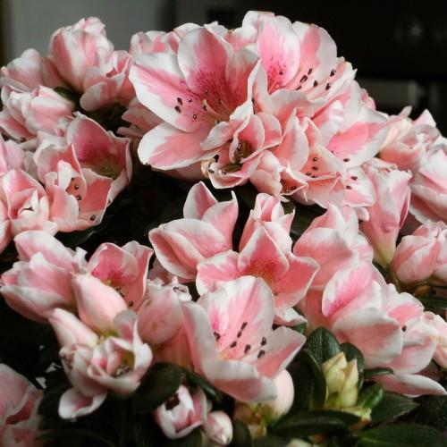 Азалия виды и сорта уход за азалией, азалии розовые с белой каймой