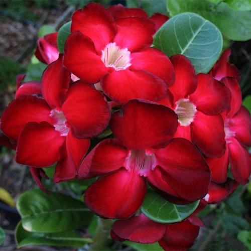 адениум роза пустыни комнатное растение
